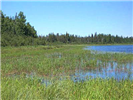 Northern Wild Rice bed in Minnesota lake.